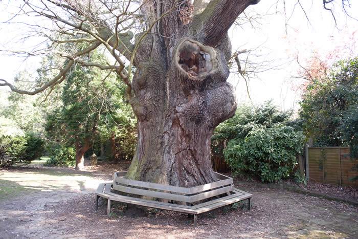 The Minchenden Oak